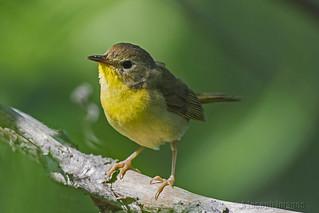 Common Yellowthroat-DSC_0688