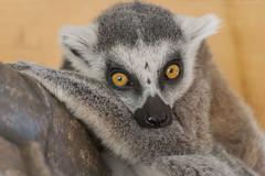 Beautiful big eyes (Mariannevanderwesten) Tags: monkey aapje ringstaartmaki beeksebergen nature nikon natuur dierentuin zoo eyes ogen