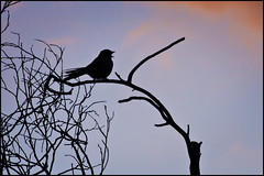 Bird Song (duobel) Tags: silhouette bird tree branches twigs nature sky cloud dusk