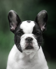 George (Alexandremqs) Tags: dogs pets explore expression portugal portrait perro photography pose photoshoot puppy bulldog french frenchie yourbestoftoday animal happydogsday littler pied
