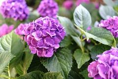 Summers Lavender (hoffler_pictorials) Tags: beautiful prime sonyfe28mmf20 sonyemountlenses botanical fresh green blossom ilce7rm2 leaves softness garden lavender bokeh flowers