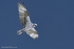 720nm infrared, osprey (Brian M Hale) Tags: ir infra red infrared 720nm 720 bird flying flight outside outdoors nature ma mass massachusetts uxbridge brian hale brianhalephoto osprey