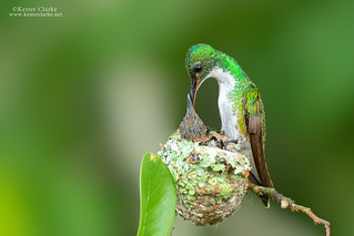 White-chested Emerald (Amazilia brevirostris)