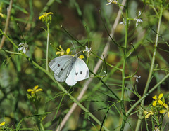 Cabbage White (Boulder Flying Circus Birders) Tags: cabbagewhite pierisrapae butterfly cabbagewhitecolorado cabbagewhiteboulder wildbirdboulder wildbirdcolorado boulderflyingcircusbirders freebirdwalk saturdaymorningbirders oldstvrainroad lyons colorado eileenrutherford