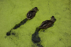 Ducks in Algae, Well Hall Pleasaunce (London Less Travelled) Tags: uk unitedkingdom england britain london southlondon eltham greenwich duck water algae