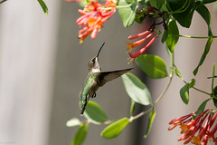Ruby Throated Hummingbird (grobinette) Tags: rubythroatedhummingbird hummingbird colibri chuparosa greenspringgardens picaflor