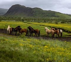 Geysir, Iceland (Stephen P. Johnson) Tags: southwest iceland places geysir
