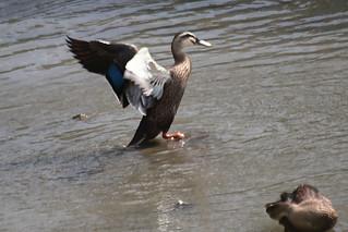Spot Billed Duck Flapping
