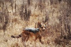 Black-Backed Jackal (pbmultimedia5) Tags: blackbacked jackal serengeti national park animal wildlife grass nature pbmultimedia tanzania