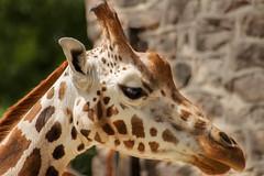 Chester Zoo #3 (joshdgeorge7) Tags: giraffe zoo chester sigma zoom pentax summer hot cheshire