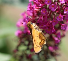 Fiery skipper (galsafrafoto) Tags: fieryskipper hylephilaphyleus hesperiidae insect insects southcarolina nature summer july macro insectmacros insectmacro insectsoftheworld insectsbugsandbutterflies macrophotography