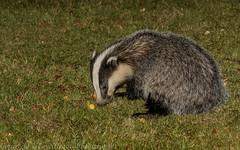 Badger (J) (Meles meles) -'Z' for zoom (Explored) (hunt.keith27) Tags: melesmeles badger garden nocturnal canon macro