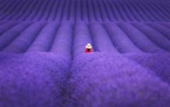 Valensole (CT photographie) Tags: lavender valensole alpesdehauteprovence champs provence impressive purpule photographer paysage perspective promenade pink flickr hollydays france exterieur amazing travel parfum dream juillet fr