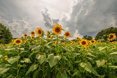 Sunflowers before rain († David Gunter) Tags: sunflowers flowers field nature natural landscape clouds yellow orange green weather