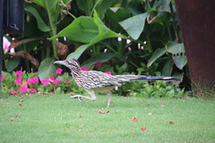 Greater Roadrunner at JW Marriott Desert Ridge (Phoenix, Arizona - July 2018) (cseeman) Tags: jwmarriott jwmarriottdesertridge desertridge phoenix arizona hotel resorthotel resort barbie2018 marriott summer summerinarizona gardens cactus trees hummingbird birds greaterroadrunner roadrunner birdsatjwmarriottdesertridge