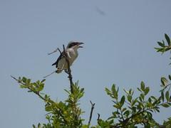 Loggerhead Shrike, July 18, 2018, Heritage Park, Sachse, Texas (gurdonark) Tags: bird birds wildlife loggerhead shrike heritage park sachse texas
