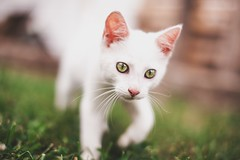 :> (- Anthony Papa -) Tags: cat canon canon5dmkii anthony papa tennessee cute animal eyes bokeh dof ears grass green white amazing whiskers