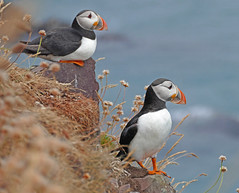 Puffins at Fowlsheugh (eric robb niven) Tags: ericrobbniven fowlsheugh puffins stonehaven wildbird wildlife nature scotland springwatch