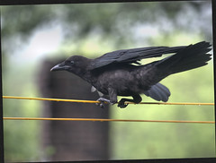 Young crow getting the dinosaur dance moves down (Felip1) Tags: 187132171ra
