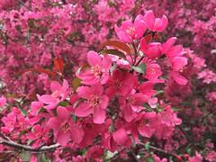 Four Seasons at Yves Richer Park (lezumbalaberenjena) Tags: yves richer park orleans ottawa lezumbalaberenjena spring primavera flower flor flowers fleur pink apple manzano manzana