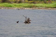 632 - Bastia au bord de la lagune (paspog) Tags: bastia lagune corse pouledeau corsica france mai may 2018 nest nid
