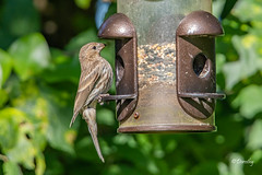 Female House Finch at Feeder (Jersey Camera) Tags: birdfeeder bird femalehousefinch housefinch finch