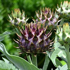 Spikes to You (pjpink) Tags: cardoon spiky lewisginterbotanicalgardens lewisginterbotanicalgarden lewisginter northside rva richmond virginia june 2018 summer pjpink 2catswithcameras