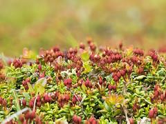 2018-06-16 21-12-10 (C) (turbok) Tags: alpenpflanzen gamsgemsodergämsheideloiseleuriaprocumbenssynkalmi pflanze wildpflanzen gamsgemsodergämsheideloiseleuriaprocumbenssynkalmiaprocumbens c kurt krimberger