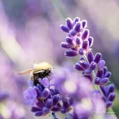 Bumblebee and lavender (PaulHoo) Tags: nikon d750 macro nature detail closeup 2018 garden bumblebee insect flower flora petal lavender purple backlit dof bokeh