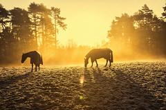 Golden Dawn (rmrayner) Tags: horsesonafrostymorning goldenlight horses grazing pasture horse rugs frost winter frozen explored
