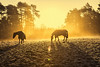 Golden Dawn (rmrayner) Tags: horsesonafrostymorning goldenlight horses grazing pasture horse rugs frost winter frozen
