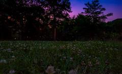 Lightning bugs at Shirlington Park (Erinn Shirley) Tags: erinnshirley shirlingtonpark arlington virginia fireflies lightningbugs outdoors nature