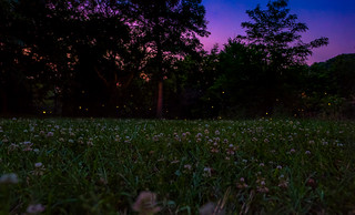 Fireflies at Shirlington Park