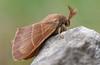 Fox moth (Macrothylacia rubi) male (Ian Redding) Tags: wings nature european lepidoptera insect animal invertebrate male uk closeup macrothylaciarubi fauna wildlife british foxmoth creepycrawly lasiocampidae macro arthropod moth cheddar somerset