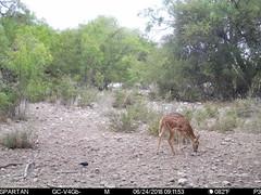 2018-06-24 09:11:53 - Crystal Creek 1 (Crystal Creek Bowhunting) Tags: crystal creek bowhunting trail cam