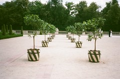 It's just another lemon tree (joanna.smieja) Tags: wilanów warsaw warszawa poland trees tree lemontree smieja joannasmieja contax contaxt2 analog analogue film filmphotography green superia