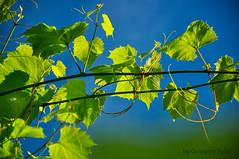 Vine (Grzesiek.) Tags: vine winorośl sky niebo