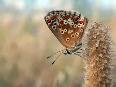 PEQUEÑA MARIPOSA AL AMANECER (Pedro Muñoz Sánchez) Tags: mariposa