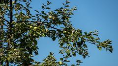 Stand der Apfelproduktion 2018 - 01 (p.schmal) Tags: olympuspenf hamburg farmsenberne apfelbaum