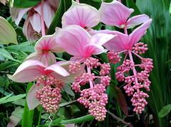 Hanging On (Khaled M. K. HEGAZY) Tags: nikon coolpix p520 singapore cloudforest nature outdoor closeup macro plant flower petal leaf leaves foliage garden green white pink