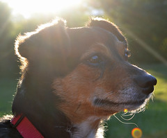 Dory and evening sun. (conall..) Tags: dory jack russell terrier portrait evening backlit sun intothelight
