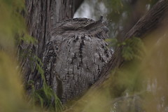 Tawny Frogmouth (Luke6876) Tags: tawnyfrogmouth frogmouth bird animal wildlife australianwildlife