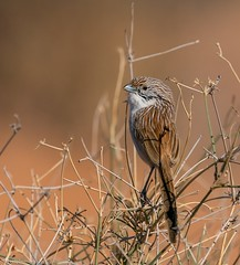 Eyrean Grasswren Amytornis goyderi (Mykel46) Tags: nature wildlife sony a9 100400mm bokeh blur grass wren outside outdoors sand small