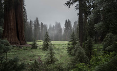 Sequoia National Park (Adrian Willems) Tags: sequoia nationalpark drausen outdoor forest wald nebel fog meadow wiese dark nopeople dunkel baum tree