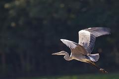Poppenweiler (Szemifoto) Tags: bird nature