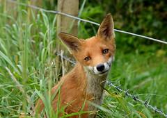 Fox cub (George Findlay) Tags: fox cub nikon ayrshire wild
