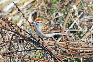 Chipping Sparrow 18-0717-8174
