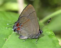 Calycopis thama (hippobosca) Tags: calycopisthama lycaenidae butterfly lepidoptera insect hairstreak panama macro