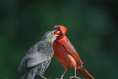 Happy Father's Day! (jimmy_racoon) Tags: canon 400mm f56l 7d fathers day northern cardinal birds nature prime canon400mmf56l canon7d fathersday northerncardinal