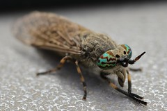 Thirsting for blood (phileveratt) Tags: horsefly cleg haematopotapluvialis canon insect bitinginsect eos77d ef100mmf28usmmacro cof035meu cof035dmnq cof035mari cof035mark cof035ally